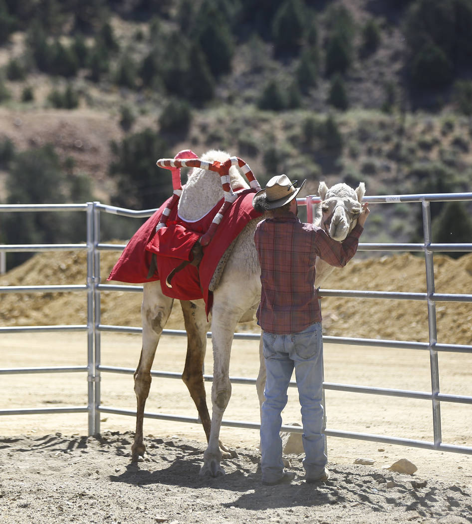 Virginia City resident Kody Burrell, who has been attending the races since age 12, checks on a camel during the first day of the 59th annual International Camel & Ostrich Races in Virginia City o ...