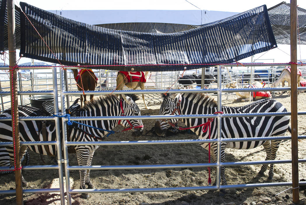 A pair of zebras relax during the first day of the 59th annual International Camel & Ostrich Races in Virginia City on Friday, Sept. 7, 2018. Chase Stevens Las Vegas Review-Journal @csstevensphoto