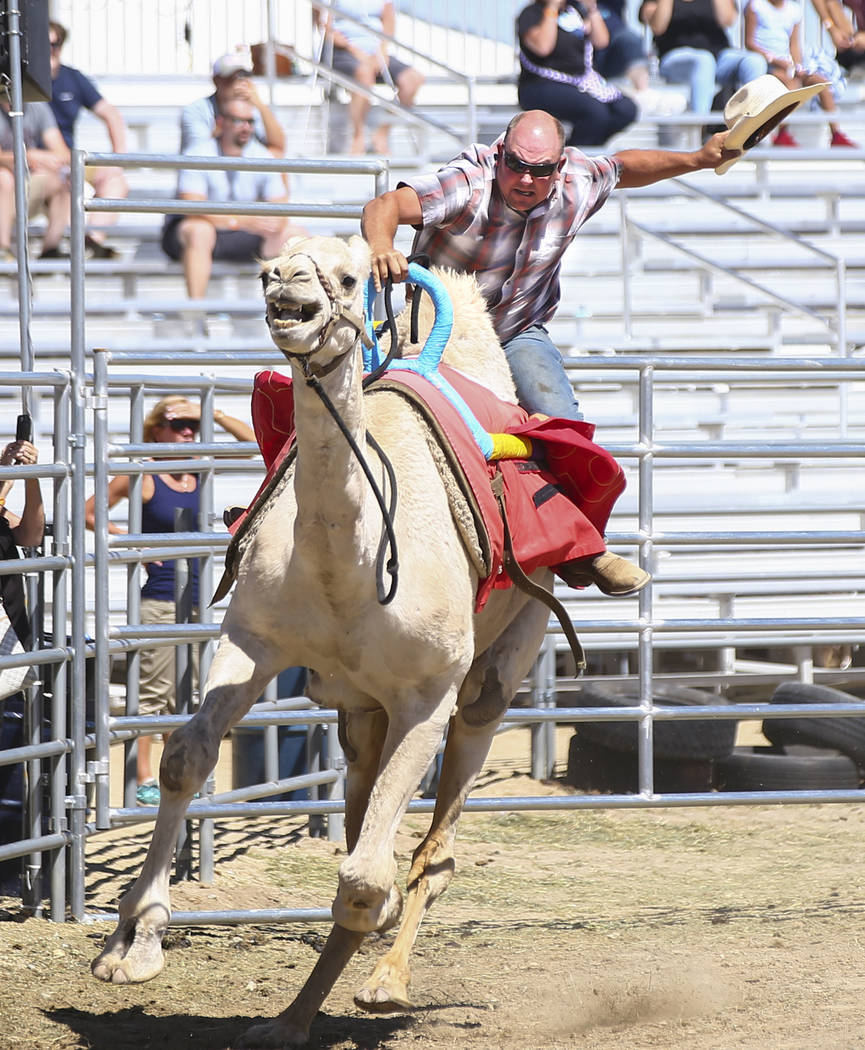 Ryan Gillaspie of Amador County, Calif., races a camel during first day of the 59th annual International Camel and Ostrich Races in Virginia City on Friday, Sept. 7, 2018. Chase Stevens Las Vegas ...