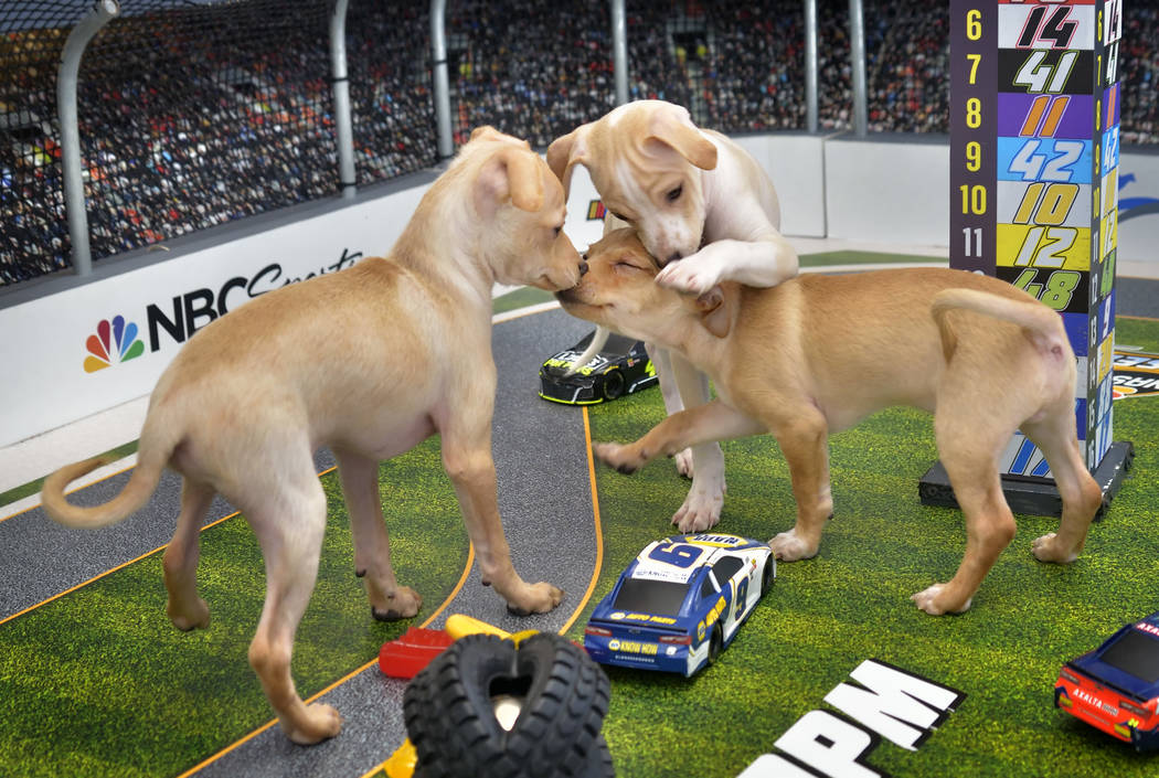 "Puppies are shown during the NASCAR on NBC ""Pup"" Series at the Fremont Street Experience in Las Vegas on Friday, Sept. 14, 2018. NBC Sports and the North Shore Animal League America ..."