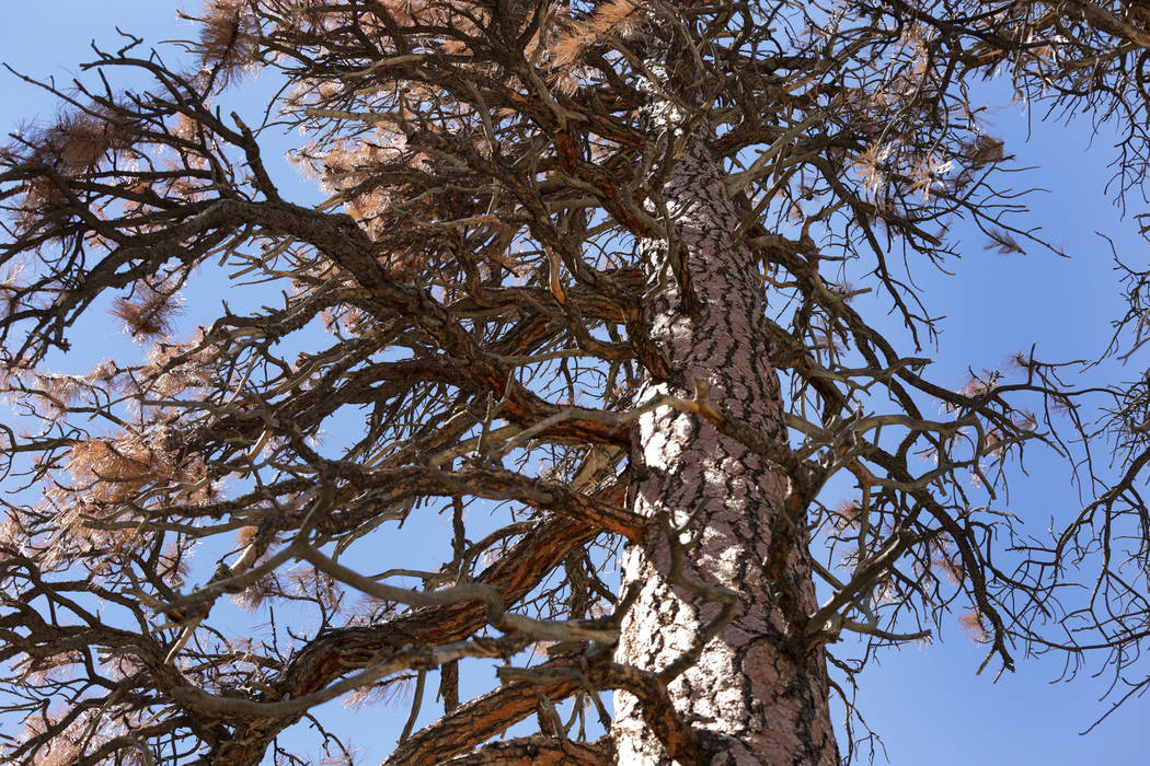 Brown needles and dried limbs hang from a dying tree in Old Town on Mount Charleston where some residents contend that trees are being poisoned by the salt used by Clark County Public Works to de- ...