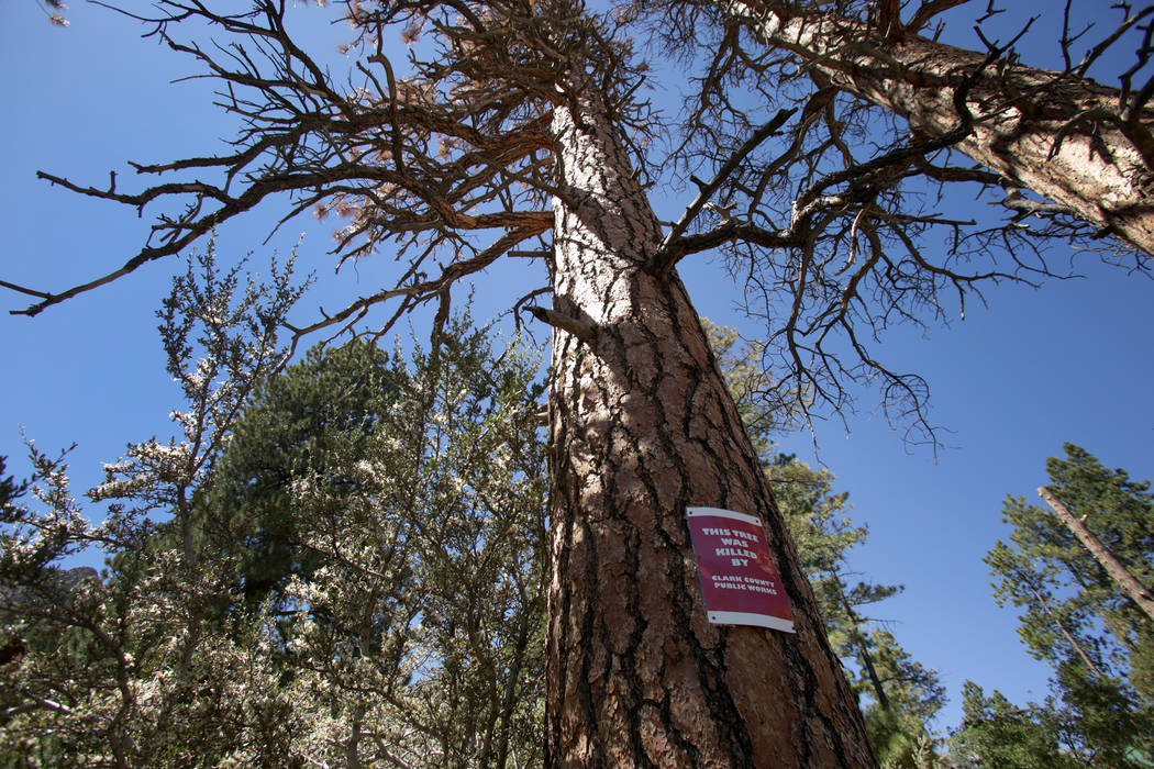 Signs mark trees that some residents of Old Town on Mount Charleston say were poisoned by salt used by Clark County Public Works to de-ice roads around the community in winter, on Monday, Septembe ...