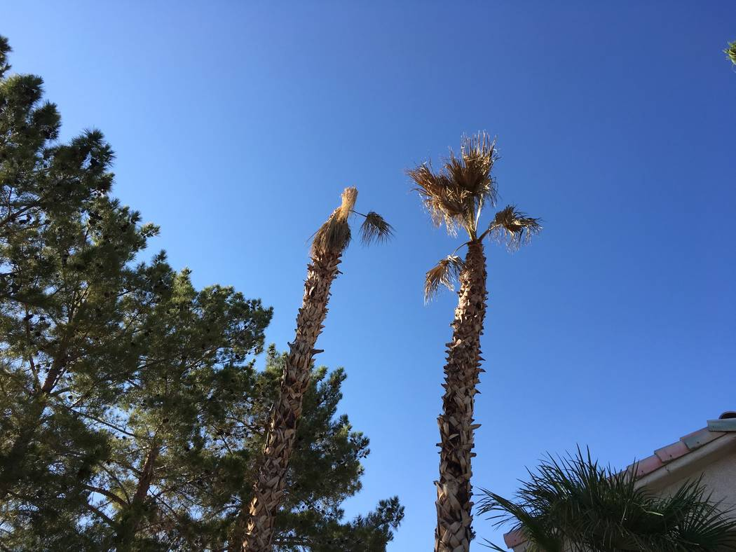The death of these palm trees was probably caused by using unsanitary pruning tools or removing too many palm fronds. (Bob Morris)