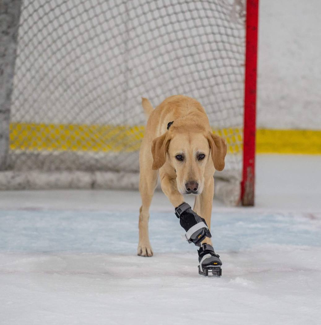 Benny the Skating Dog is shown at Las Vegas Ice Center. His owner, Cheryl DelSangro, hopes he can take the ice with the Vegas Golden Knights. (Cheryl DelSangro)
