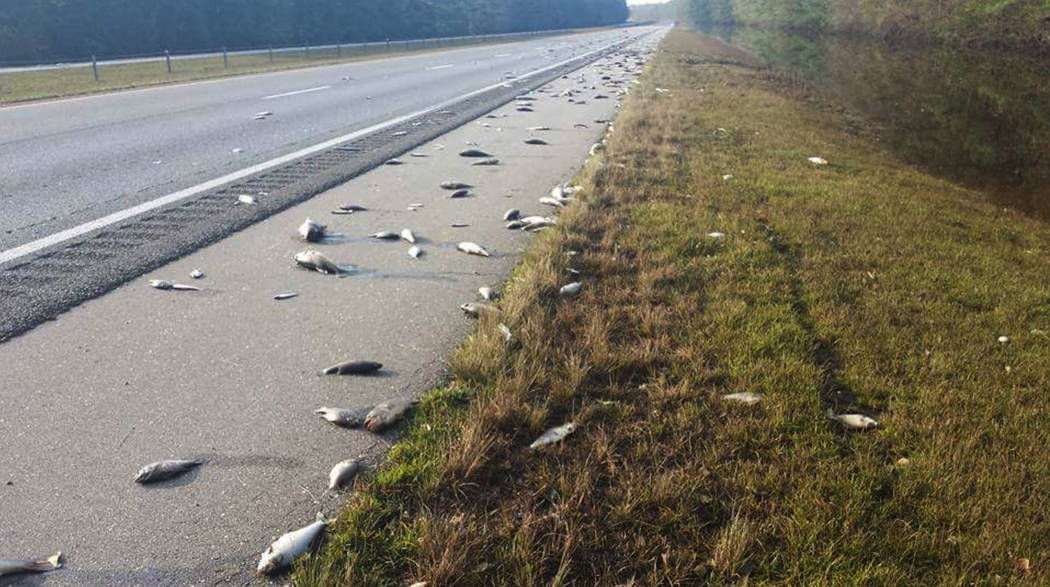 This Saturday, Sept. 22, 2018, photo provided by the North Carolina Department of Transportation shows fish left on Interstate 40 in Pender County in eastern North Carolina after floodwaters reced ...