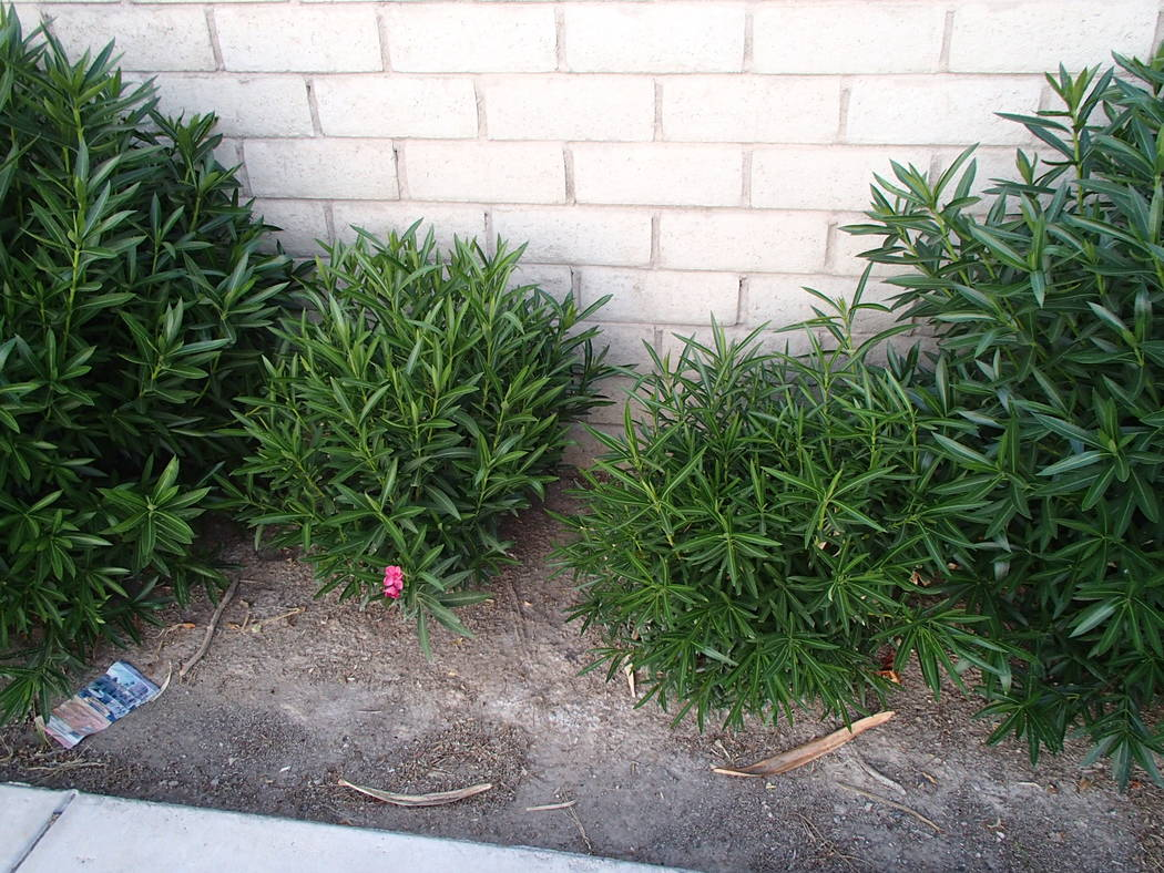 If oleanders are cut to the ground, they first shift their growth to replace leaves and stems that were lost. If they are cut back moderately, they will probably flower immediately after new growt ...