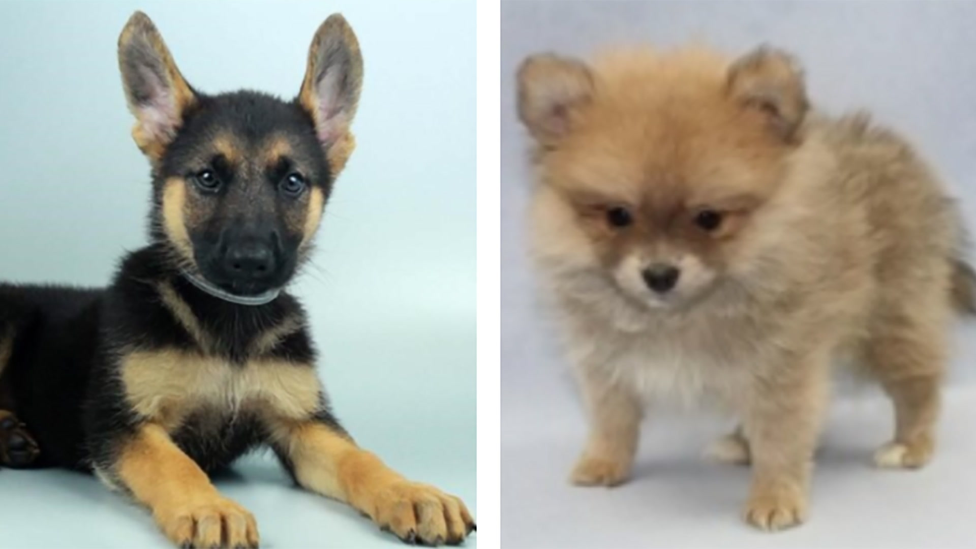 las vegas pet store owner fears for safety of stolen puppies las