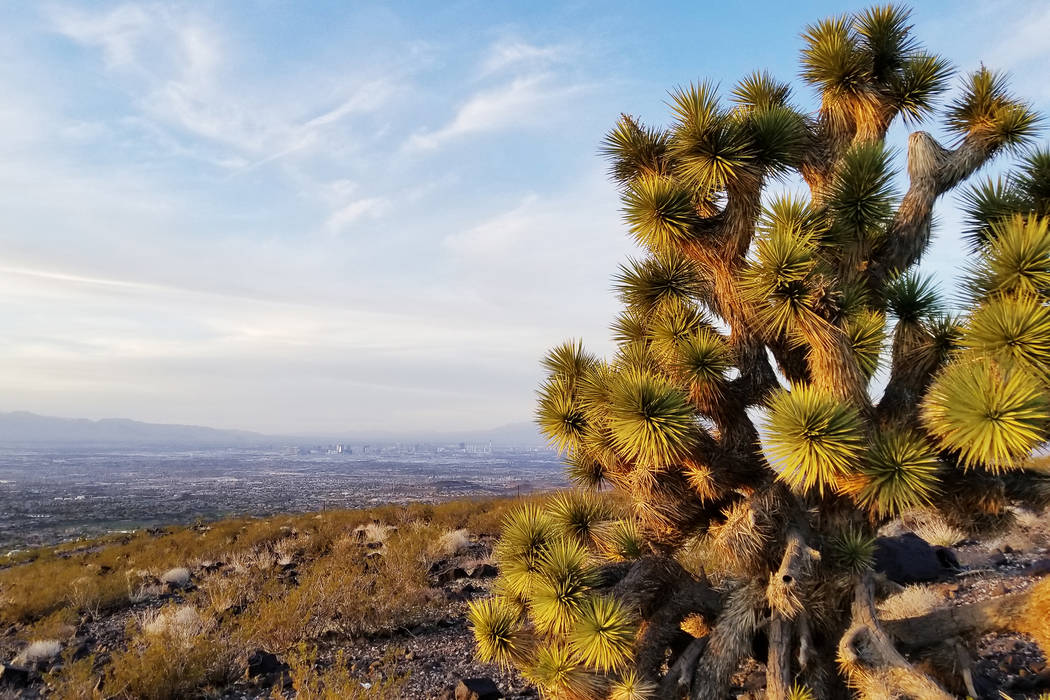 Joshua trees can be found along the Anthem East trail, which can be accessed from the Shadow Canyon Trailhead near Henderson's southern edge. (Natalie Burt)