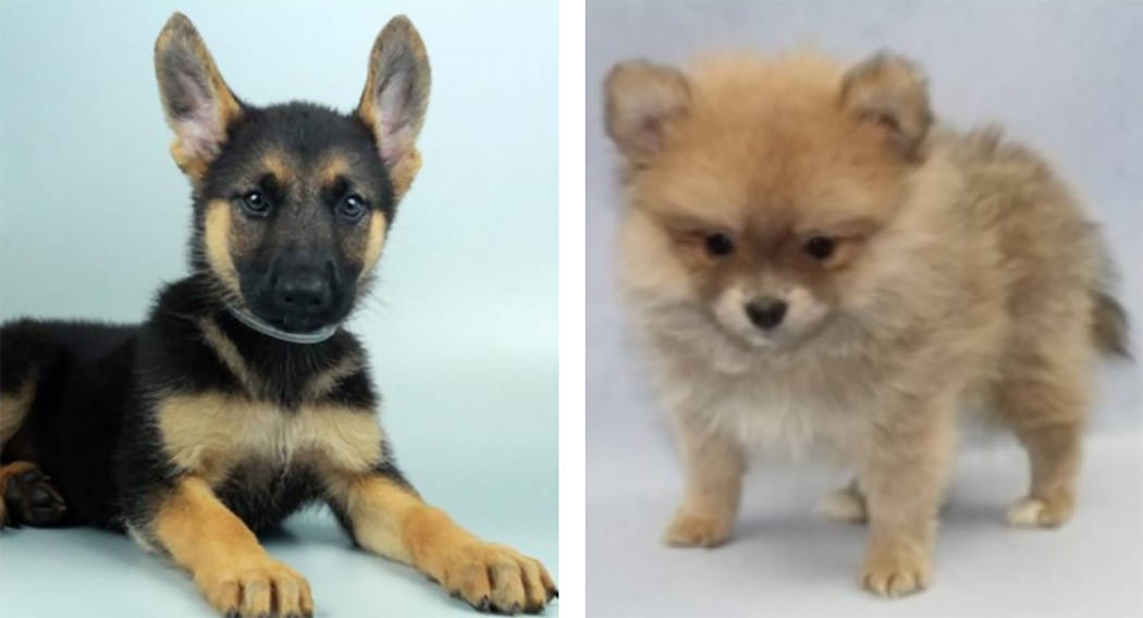 A female German Shepherd, left, and male Pomeranian puppy were stolen from Petland store in the Boca Park shopping area in Las Vega on Friday, Sept. 28, 2018. (Petland)