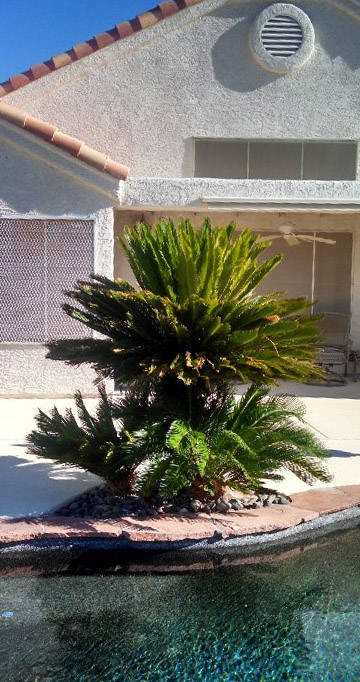 Bob Morris Palms, in general, are not a good choice to plant around pools.