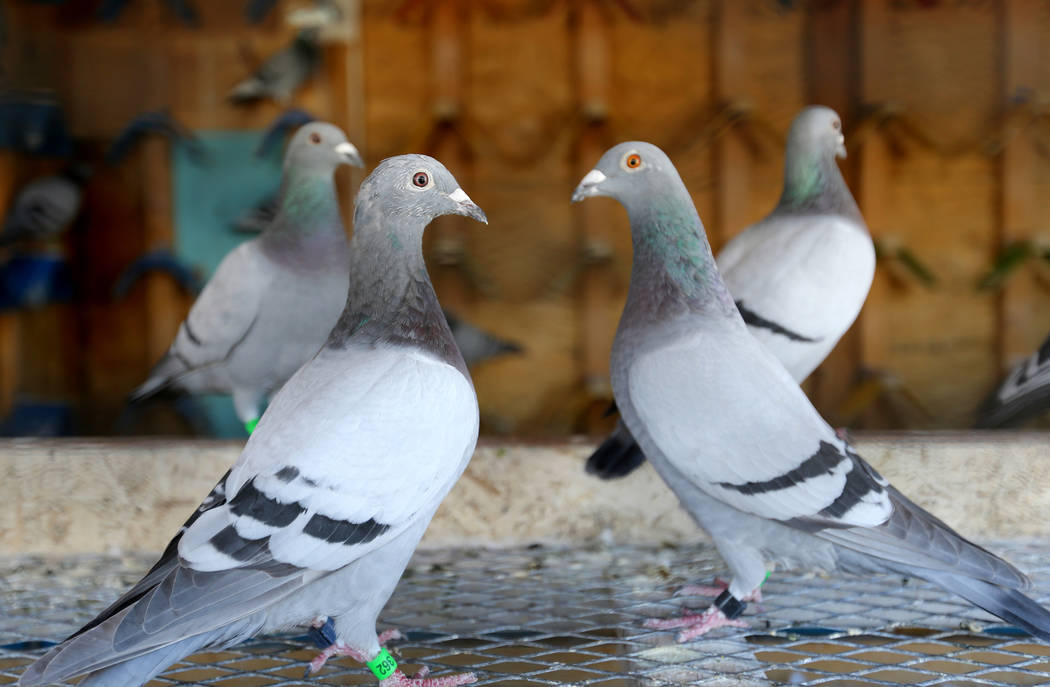 Pigeons belonging to Rasiel Martinez of Las Vegas wait for the arrival of pigeons on the Cher Ami leg of the Racing Pigeon Cross Country Relay from Victorville, Calif. to Las Vegas Thursday, Oct. ...