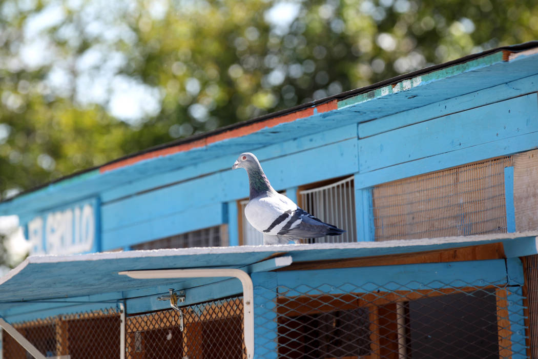 A pigeon belonging to Rasiel Martinez arrives at his Las Vegas home from Victorville, Calif. on the Cher Ami leg of the Racing Pigeon Cross Country Relay Thursday, Oct. 4, 2018. The relay birds ca ...