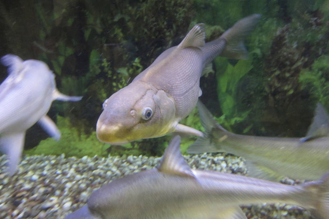 A Colorado River razorback sucker fish is shown swimming in a tank at the U.S. Fish and Wildlife Service office in Lakewood, Colo. (AP Photo/Dan Elliott)