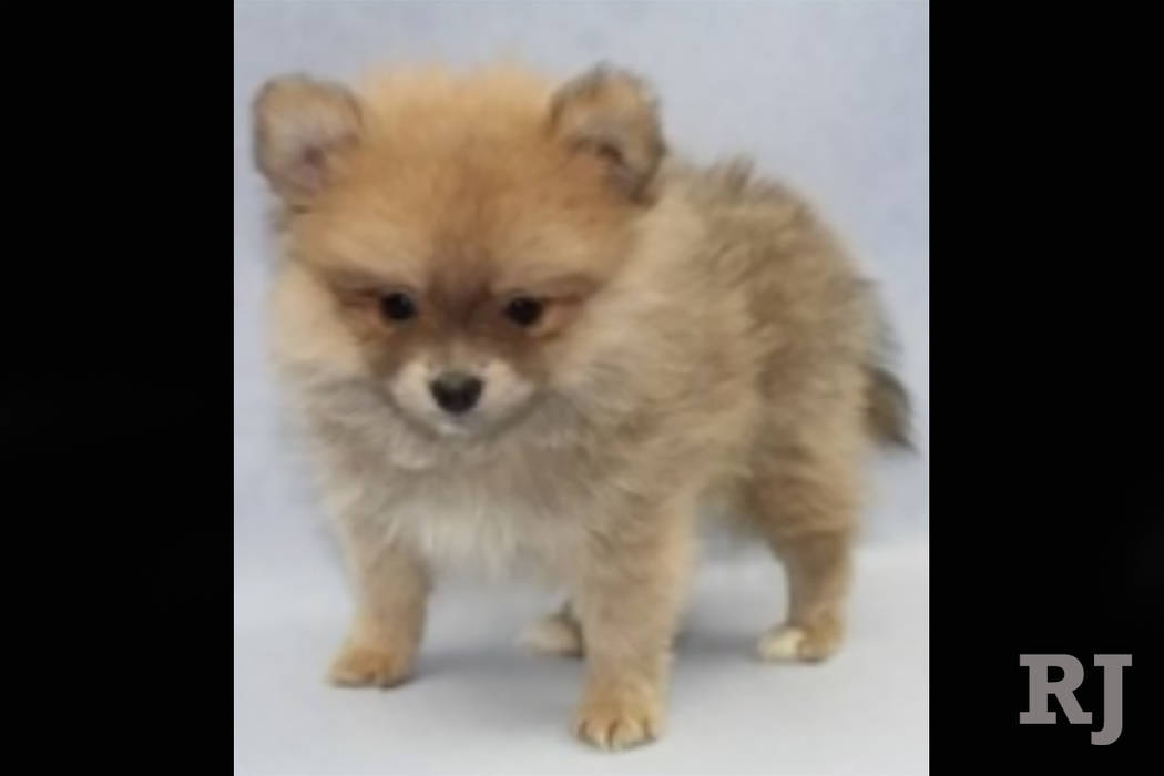 The male Pomeranian puppy was stolen from a Petland store in the Boca Park shopping area in Las Vegas on Friday, Sept. 28, 2018. (Petland)