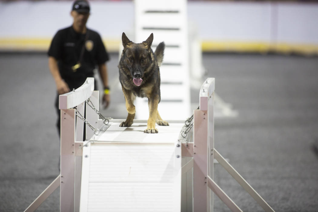 Jack Ortega of Ventura Police Department in California watches as the K-9 Miles walks over an obstacle during the agility portion of the Las Vegas Metro K-9 Trials at the Orleans Arena in Las Vega ...