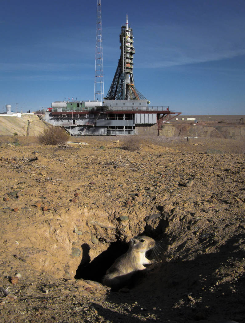A gerbil comes out of a hole a few hours prior to the launch of the Soyuz MS-10 space ship carrying a new crew to the International Space Station, ISS, at the Russian leased Baikonur cosmodrome, K ...