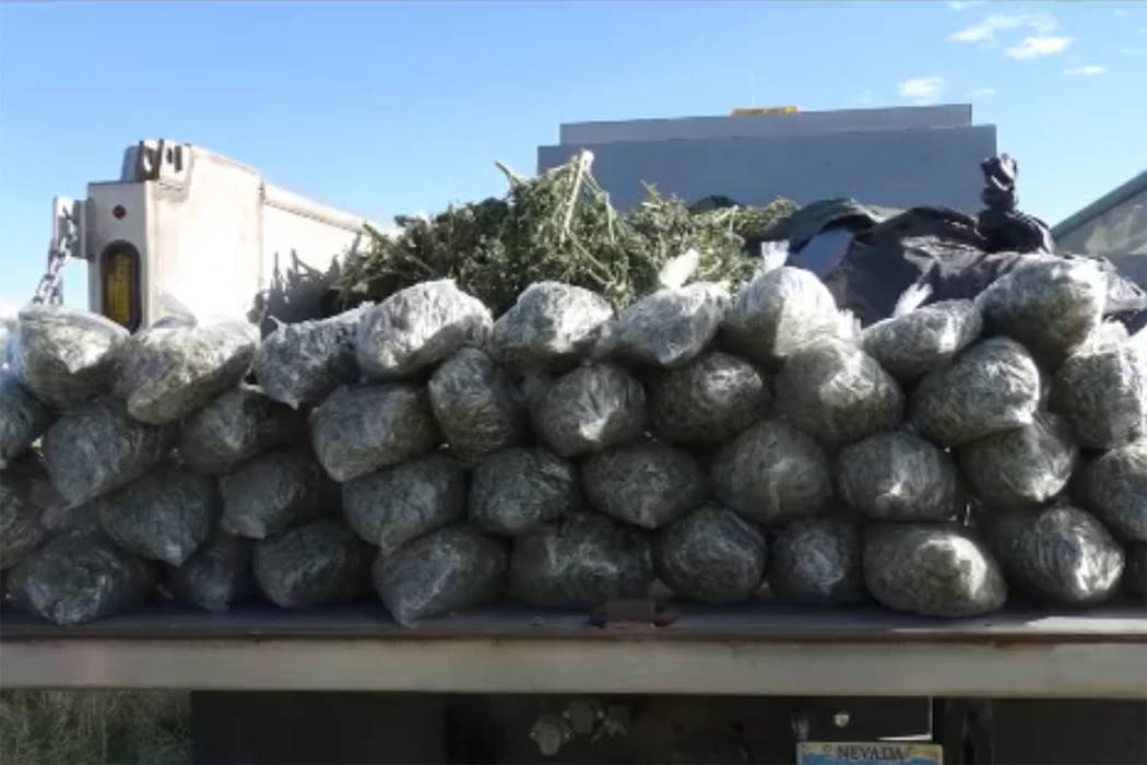 The Nye County Sheriff's Office seized more than $20 million worth of illegally grown marijuana in a September bust. (Nye County Sheriff's Office/Facebook)