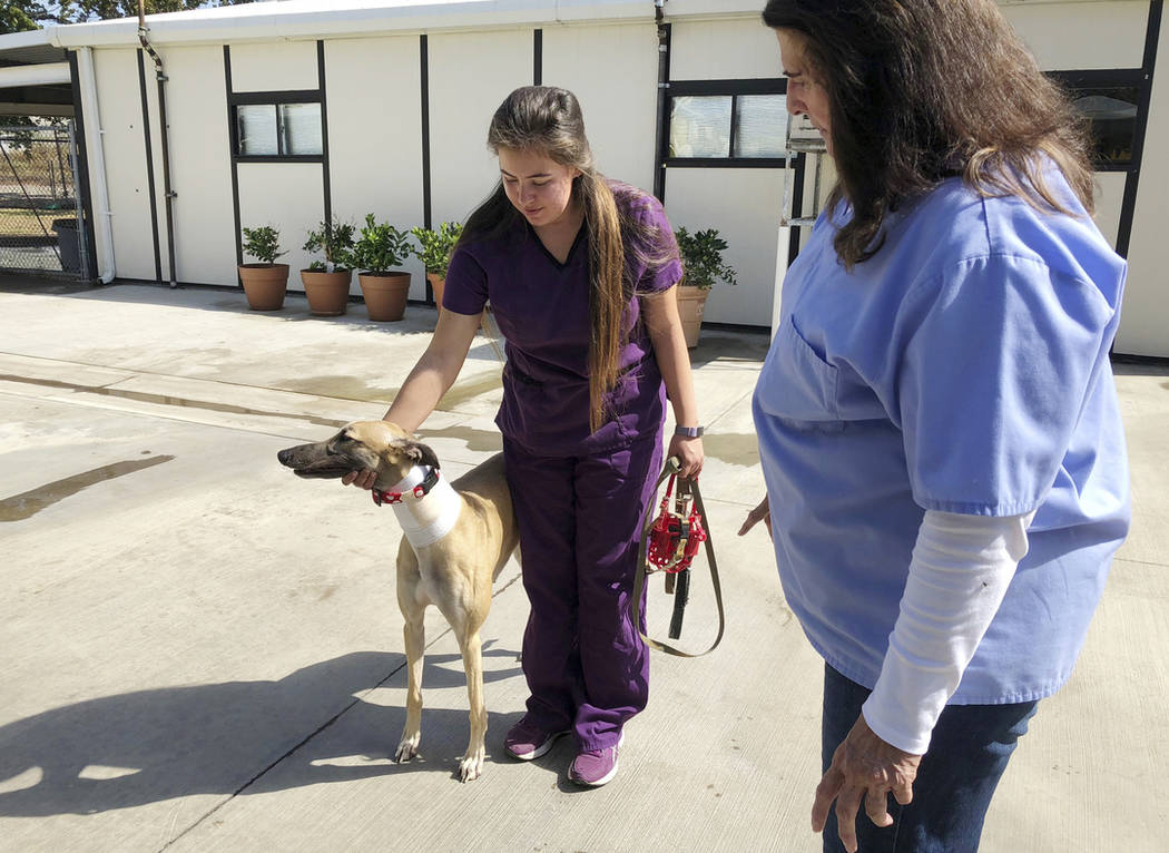 Manager Karen Stalk watches as a worker returns a greyhound after donating blood at Hemopet canine blood bank in Garden Grove, Calif., on Oct. 10. (AP Photo/Amy Taxin)