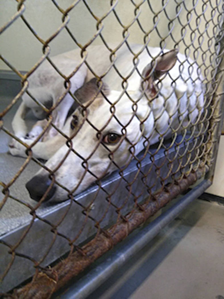 This 2018 photo shows a greyhound in an enclosure at Hemopet canine blood bank in Garden Grove, Calif. (PETA via AP)