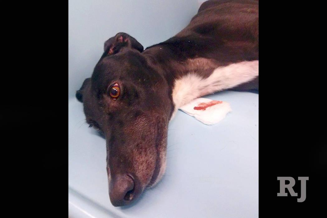 This 2018 photo shows a greyhound after having blood taken at Hemopet canine blood bank in Garden Grove, Calif. (PETA via AP)