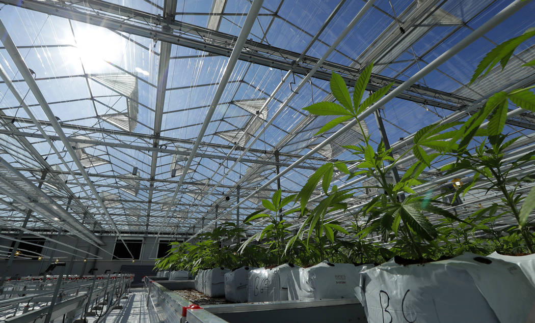 Marijuana plants are shown growing in a massive tomato greenhouse being renovated to grow pot in Delta, British Columbia, that is operated by Pure Sunfarms, a joint venture between tomato grower V ...