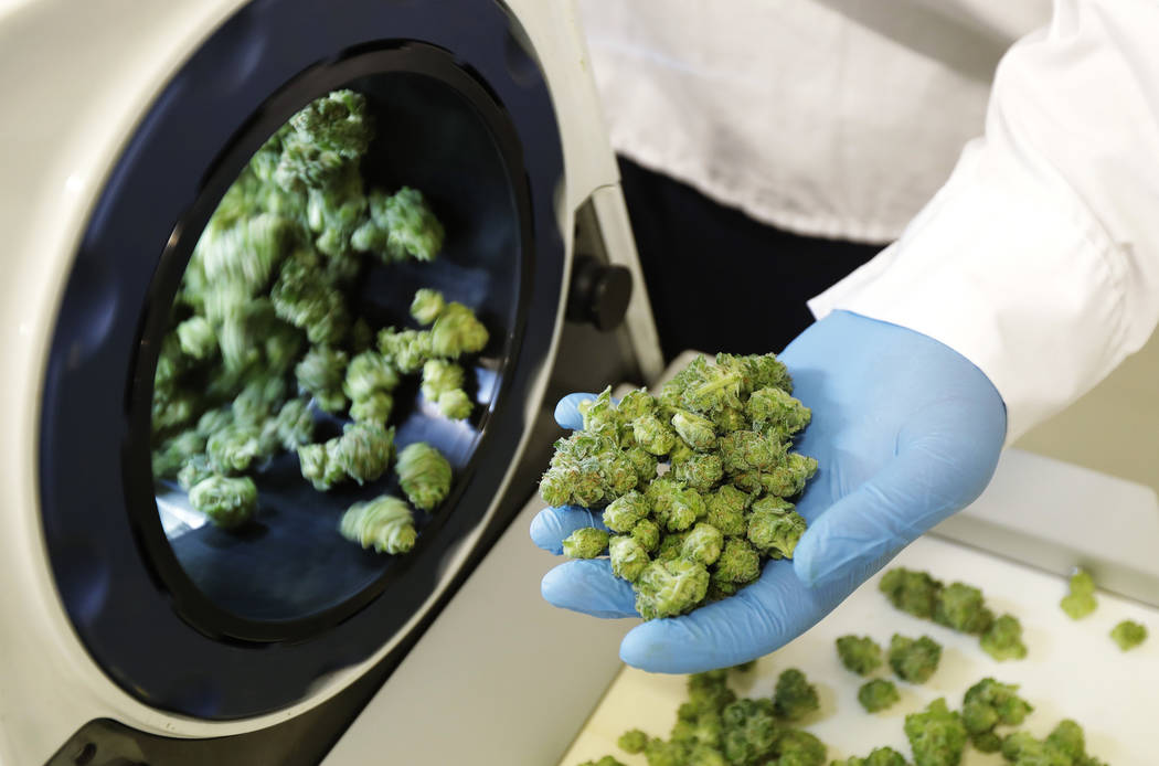 Devin Melnyk, a long-time marijuana grower and a consultant with Pure Sunfarms, holds trimmed marijuana as it comes out of a high-volume cannabis trimming machine at a massive tomato greenhouse be ...
