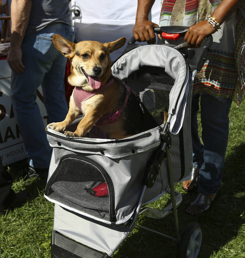Roxie takes in the scene while being pushed by owner Chandra Roberts during the 23rd annual Summerlin Festival of Arts at Downtown Summerlin in Las Vegas on Saturday, Oct. 13, 2018. Chase Stevens ...