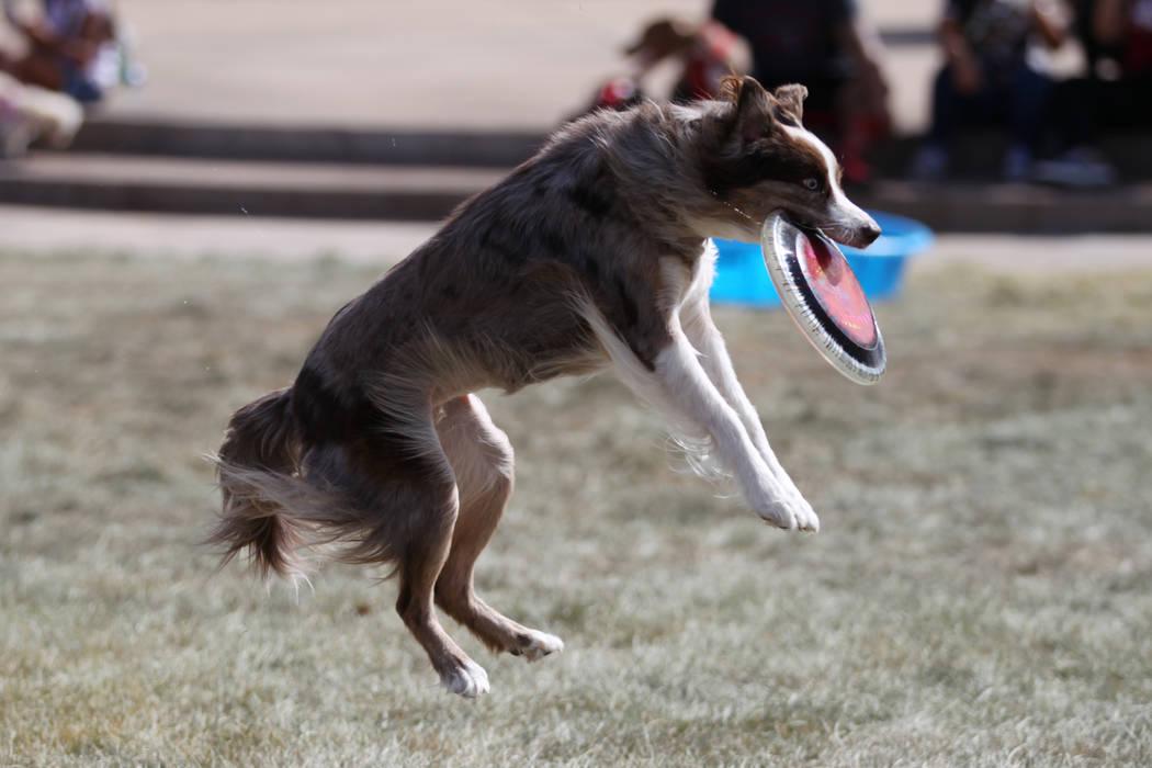 Xcellent, a border-aussie cross, catches a frisbee during the Family, Fur & Fun Festival at Exploration Park in Las Vegas, Saturday, Oct. 13, 2018. Erik Verduzco Las Vegas Review-Journal @Erik ...