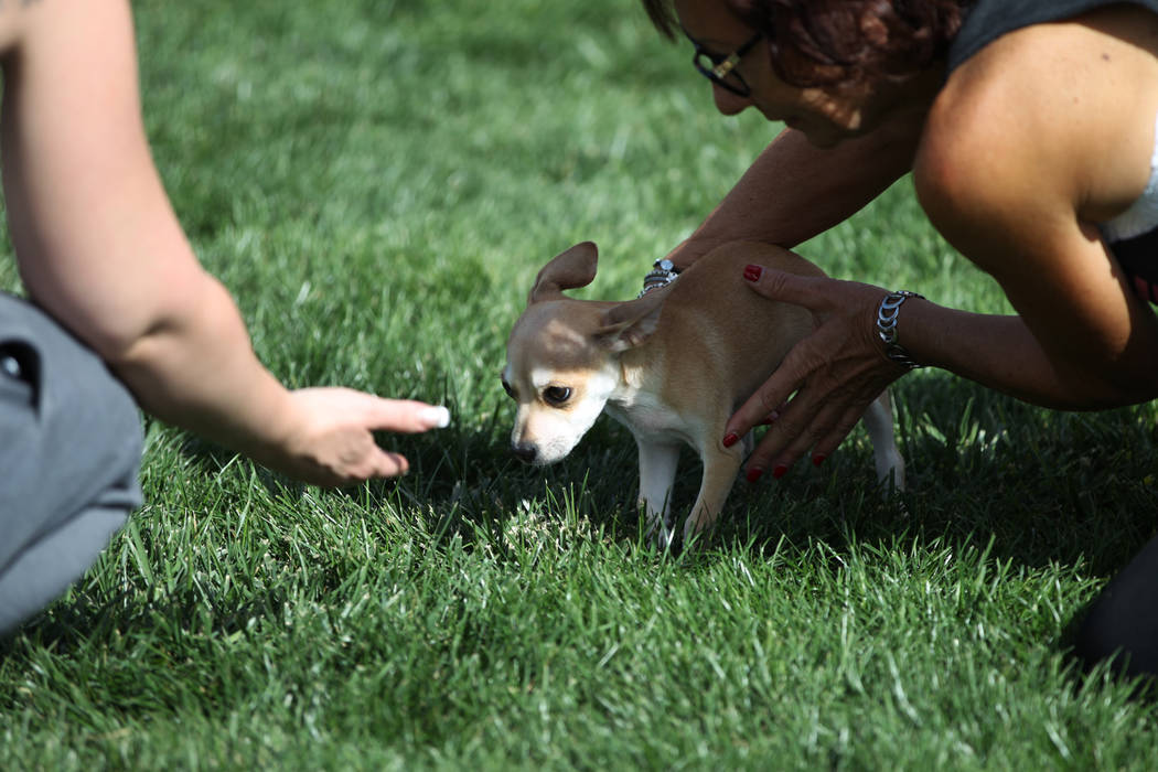 Donna Palladino, right, with Joey, a chihuahua up for adoption, during the Family, Fur & Fun Festival at Exploration Park in Las Vegas, Saturday, Oct. 13, 2018. Erik Verduzco Las Vegas Review- ...