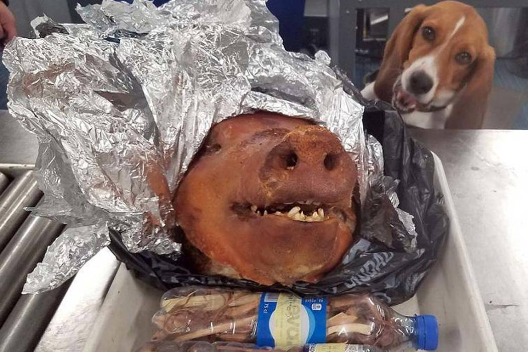 Agriculture Detector dog named Hardy looks at a roasted pig's head at Atlanta's Hartsfield-Jackson International Airport on Thursday, Oct. 11, 2018. (U.S. Customs and Border Protection via AP)