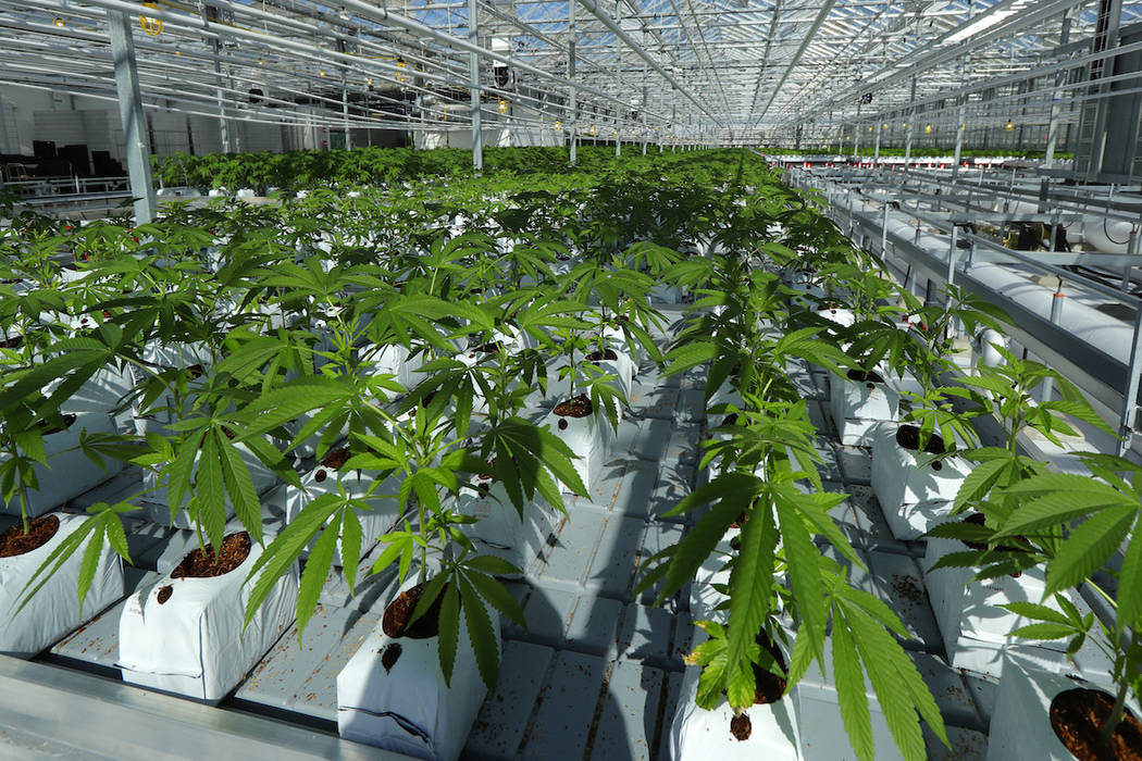 In this Sept. 25, 2018 photo, marijuana plants are shown growing in a massive tomato greenhouse being renovated to grow pot in Delta, British Columbia, that is operated by Pure Sunfarms, a joint v ...