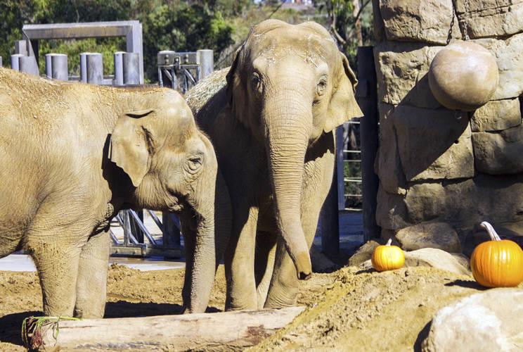 Asian elephant Sujatha, right, at the Santa Barbara Zoo in Santa Barbara, Calif. Sujatha was euthanized Tuesday, Oct. 16, 2018, surrounded by her caretakers. (Santa Barbara Zoo via AP)