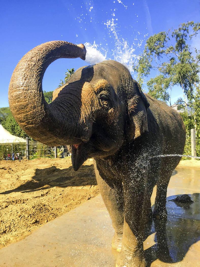 Asian elephant Sujatha at the Santa Barbara Zoo in Santa Barbara, Calif. Sujatha was euthanized Tuesday, Oct. 16, 2018, surrounded by her caretakers. (Santa Barbara Zoo via AP)