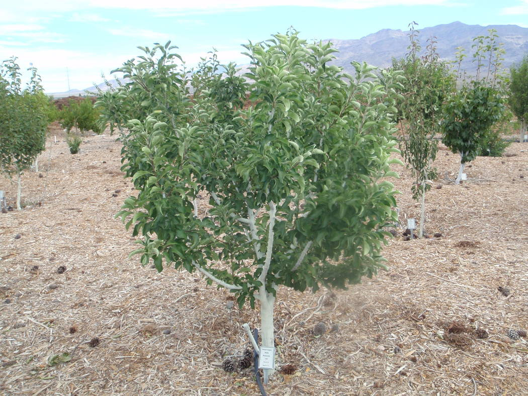 Miniature or genetic dwarf fruits trees can be found in almond, peach, nectarine and apple and vary in height from 6 to 12 feet tall. (Bob Morris)