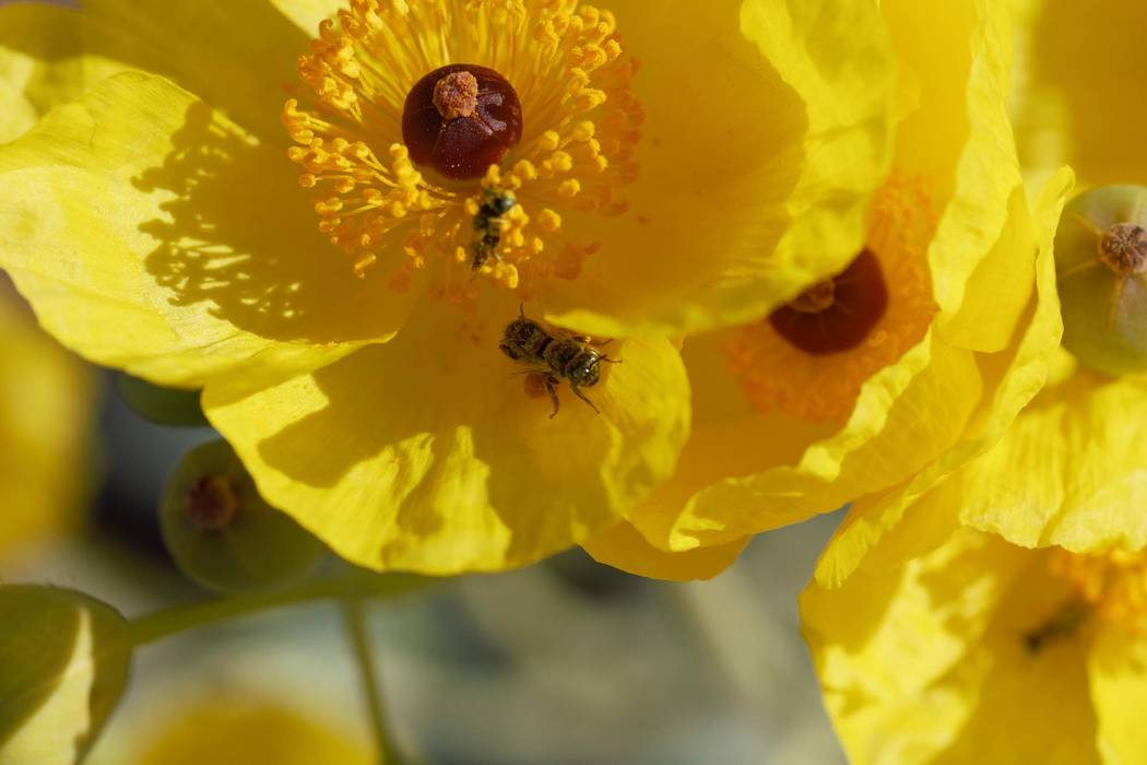 AMojave poppy bee on a flower. The Center for Biological Diversity wants the bee, found only in Clark County, to be added to the endangered species list.(Zach Portman/University of Minnesota D ...