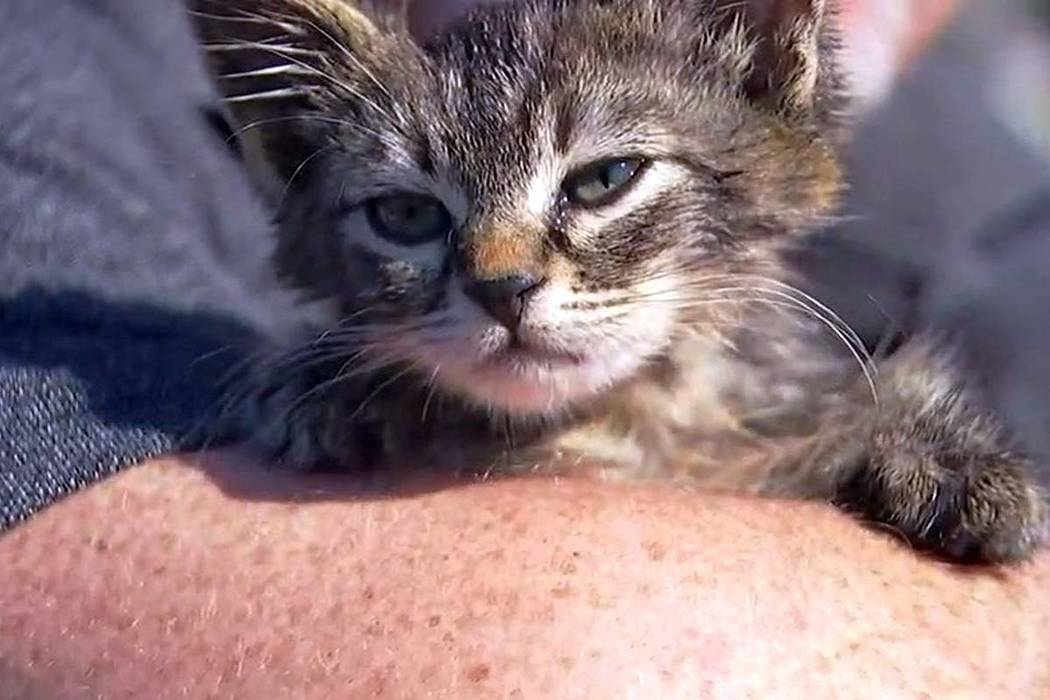 This photo provided by Fox 12 Oregon shows a small kitten that was recently found glued to a busy road near Silverton, Ore. The kitten, who is expected to make a full recovery after a visit to the ...