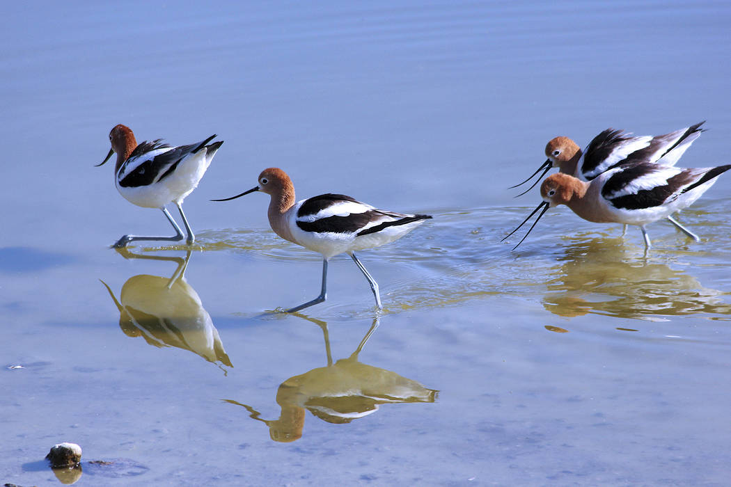 American avocets are among the species that can be seen at Henderson Bird Viewing Preserve (Henderson Parks and Recreation).
