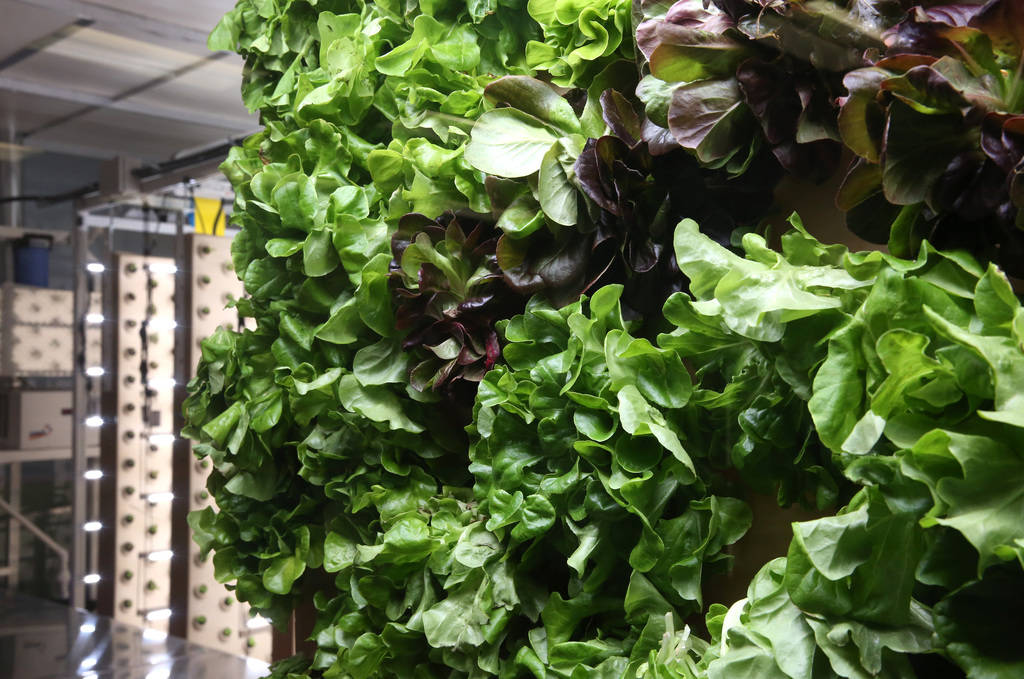 Green and red butter lettuce are displayed at Three Square's new vertical indoor garden on Thursday, Oct. 18 , 2018, in Las Vegas. Bizuayehu Tesfaye/Las Vegas Review-Journal @bizutesfaye