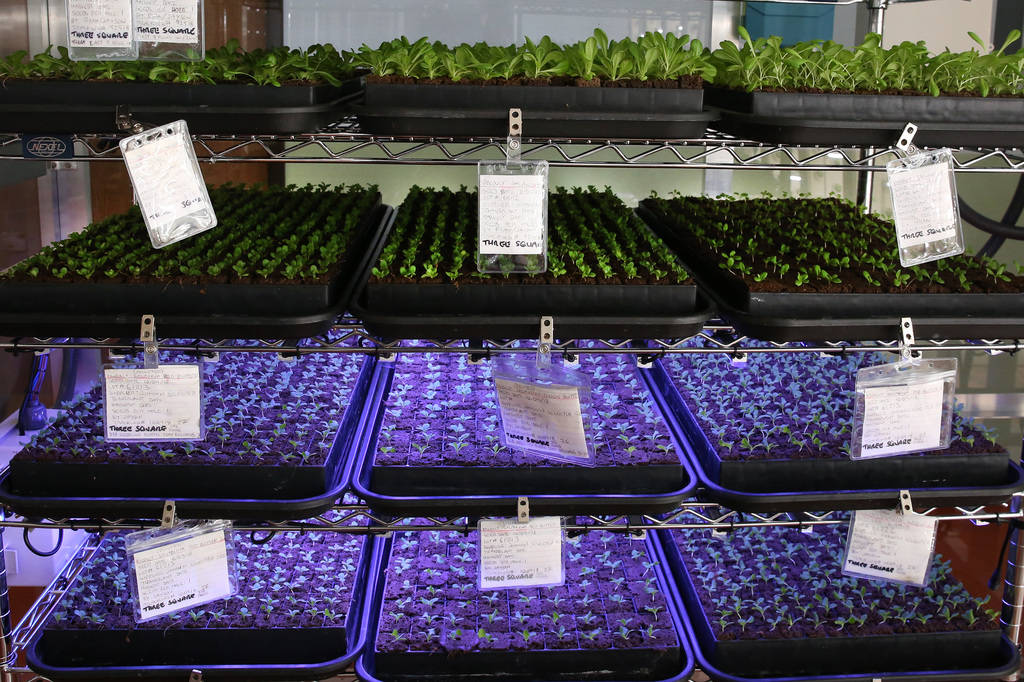 Lettuce seedlings during germination process are seen at Three Square's new vertical indoor garden on Thursday, Oct. 18 , 2018, in Las Vegas. Bizuayehu Tesfaye/Las Vegas Review-Journal @bizutesfaye