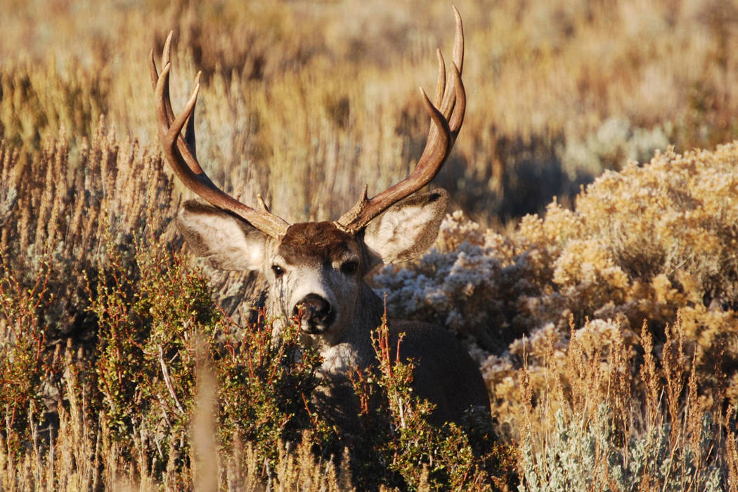 This undated photo provided by the Nevada Department of Wildlife shows a mule deer buck on winter range near Genoa, Nev. (AP Photo/Nevada Dept. of Wildlife via The Reno Gazette-Journal)