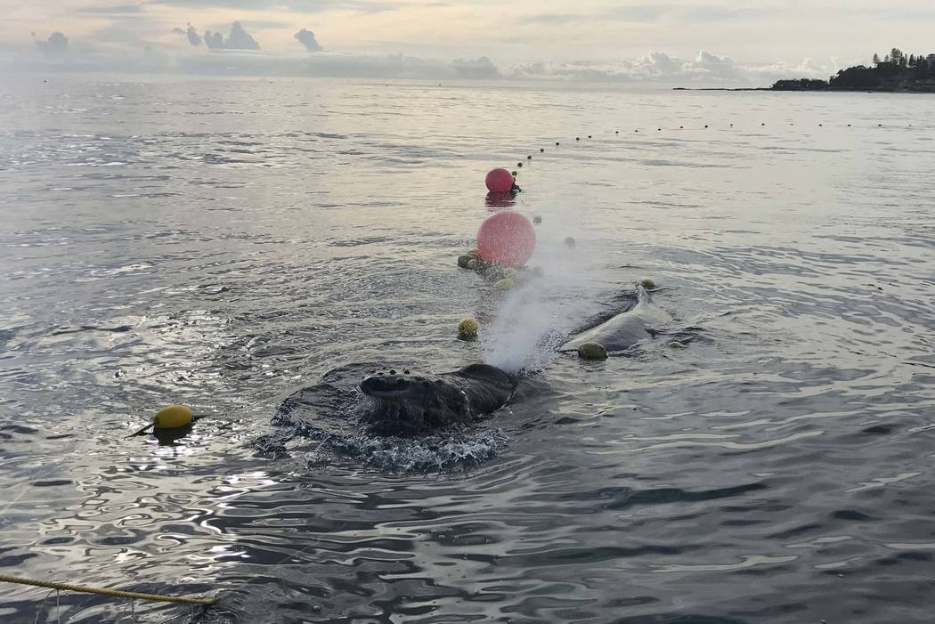 In this photo provided by Sea World Australia, a whale calf is tangled entangled in a shark net off Greenmount Beach, Australia Tuesday, Oct. 9, 2018. Experts spent almost two hours on Tuesday mor ...
