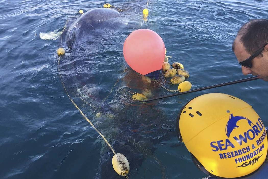 rescuers try to free a whale calf tangled in a shark net off Greenmount Beach Tuesday, Oct. 9, 2018. Experts spent almost two hours on Tuesday morning untangling the humpback calf from a net about ...