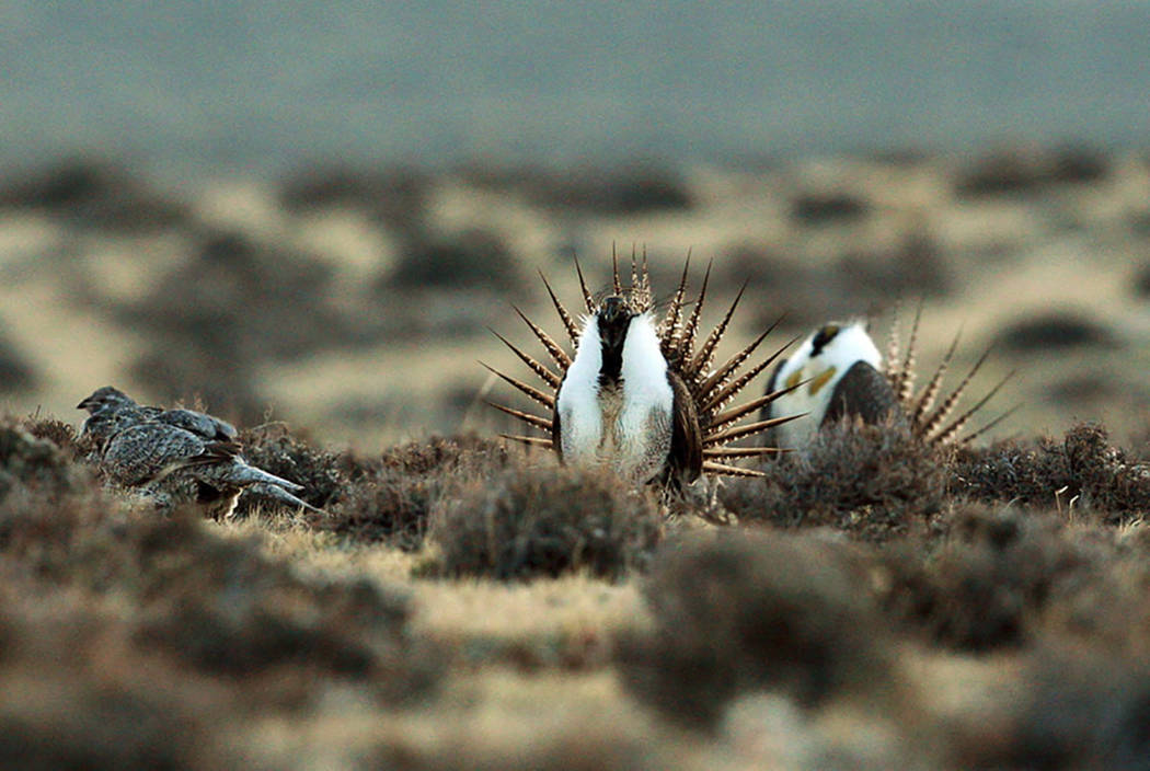 A male sage grouse trying to impress a group of hens, at left, near the base of the Rattlesnake Range in southwest Natrona County, Wyoming, in 2014. (Alan Rogers/The Casper Star-Tribune via AP, File)