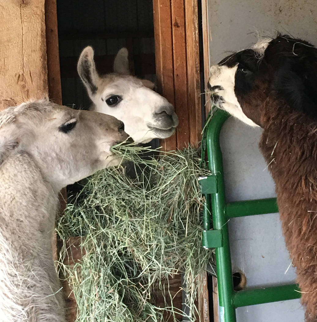 This Sunday, Oct. 28, 2018 photo shows Ike the llama, middle, who was rescued after three months on the loose in Yellowstone National Park, is pictured with other llamas at Yellowstone Llama in Bo ...