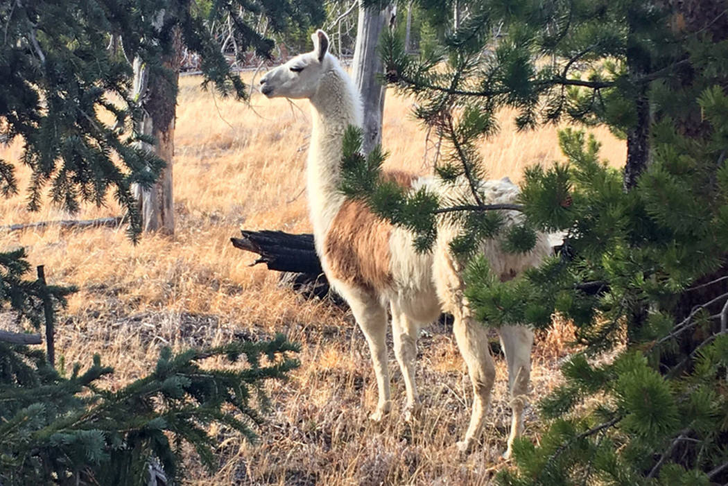 Ike, a pack llama that escaped from a guided hike in Yellowstone National Park in August, is seen southwest of Yellowstone Lake. (Susi Huelsmeyer-Sinay via AP)