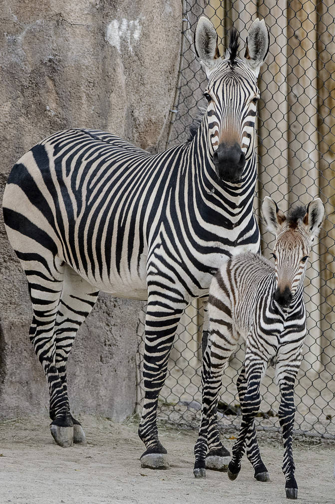 Clementine, right, a baby zebra, is seen with her mother, Zoe, at Utah's Hogle Zoo in Salt Lake City on Tuesday Oct. 30, 2018. (Trent Nelson/The Salt Lake Tribune via AP)