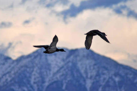 Mallard ducks taking off from the Bear River Migratory Bird Refuge in Utah. Some of the birds leaving the refuge move south through Nevada on their annual migration. (Karen Hillstrom, U.S. Fish & ...