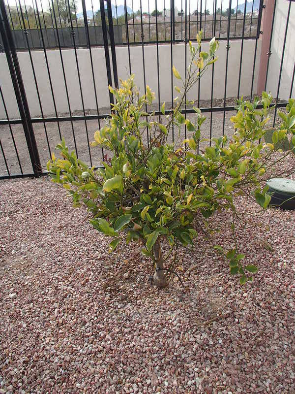 A 2-year-old fruit tree requires specialized care when transplanting.