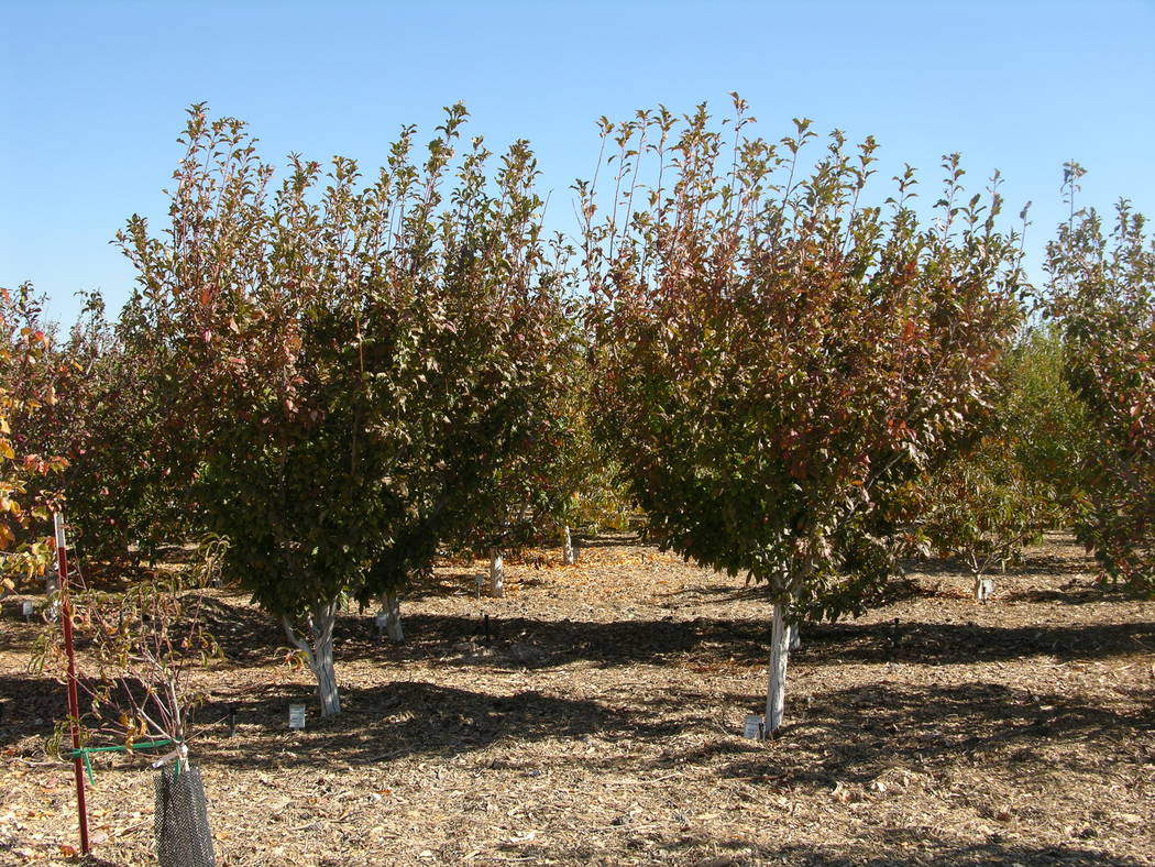 The time of pruning varies with the fruit tree but generally most fruit trees are pruned during the winter months, beginning at leaf drop. (Bob Morris)