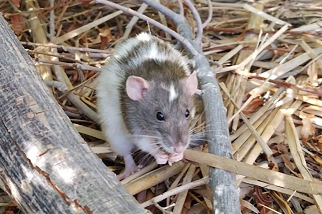 About 35 rats were dumped at the Clark County Wetlands Park over the past two weeks, according to officials. (Heather Johnson)
